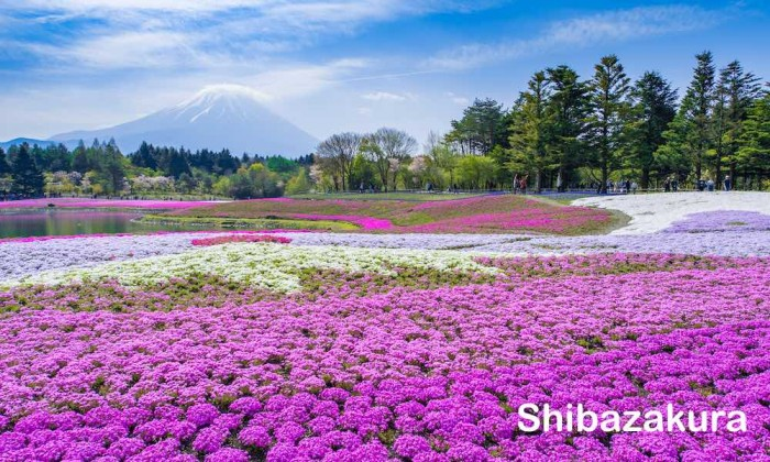 Shibazakura & Gotemba Outlet Day Trip