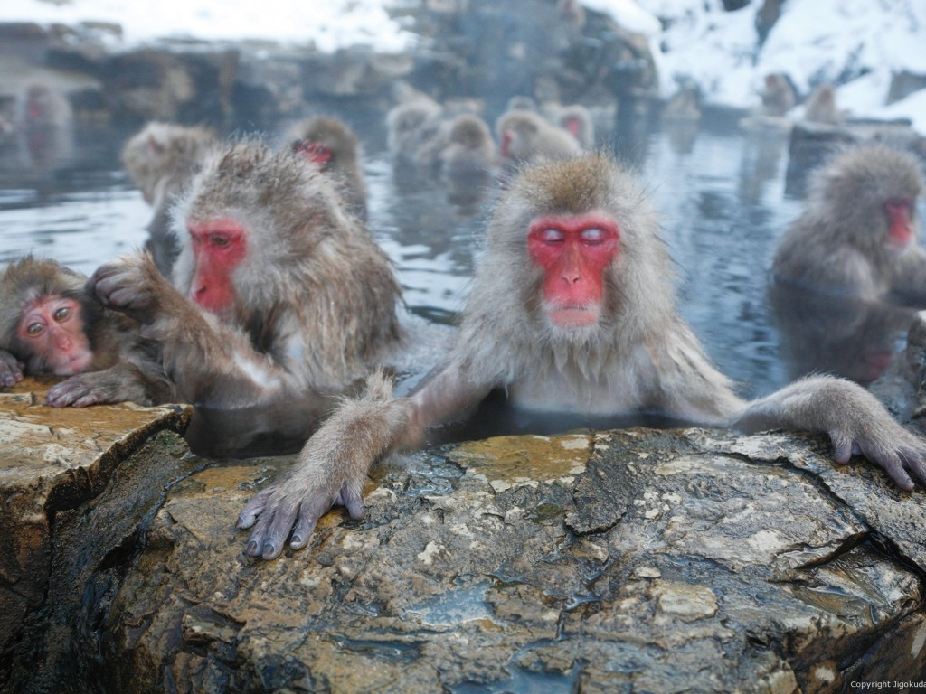 Day Trip to see Monkey Bath in Hotspring 1